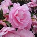 20091122(flower)