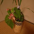 20070815(茶花)